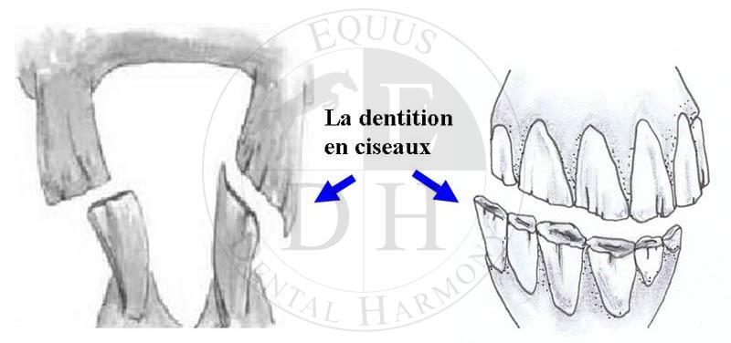 blessure dûe à une dentition en ciseaux cheval